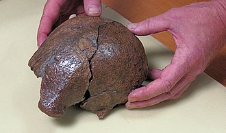Archaeology of Indonesia - The cranial skull of Homo erectus discovered at Sangiran