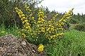 Calycotome villosa - 1.jpg