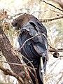Calyptorhynchus lathami -Mount Ainslie, Canberra, Australia -male-8 (2).jpg