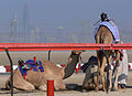 Camel racing, jockey robots test.jpg