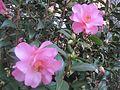 Camellia × williamsii 'Daintiness'.jpg