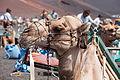 Camelo - Timanfaya - Lanzarote - Illas Canarias- Spain-T32.jpg