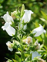 Campanula medium flowers