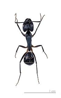 Camponotus fellah MHNT.jpg