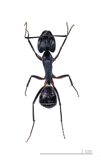 Formicinae - Camponotus fellah