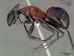 Camponotus obscuripes casent0008633 profile 1.jpg