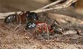 Camponotus sideview.jpg