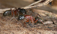 Le Peuples des Fourmis 2 dans FOURMI 200px-Camponotus_sideview