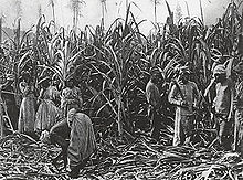 Black-and-white photograph of sugarcane standing in field