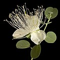 Capparis spinosa - Flickr - Kevin Thiele.jpg
