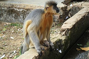 Capped langur, Chittagong Zoo (01).jpg