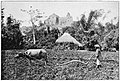 Carabao harnessed to native plough, Ploughman, village, and church (c. 1900, Philippines).jpg
