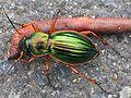 Carabus auratus with prey.jpg