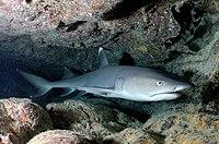 Carcharhinus albimarginatus-shark
