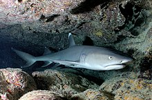 Photo of a whitetip reef shark, a slender gray fish with a short head and white tips on its dorsal and caudal fins, resting inside a coral cave