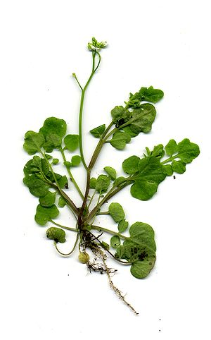 Meristem - Complex leaves of C. hirsuta are a result of KNOX gene expression