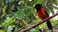 Cardenal especie nativa Melgar Tolima - panoramio.jpg