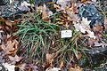 Carex baldensis - Botanischer Garten, Dresden, Germany - DSC08688.JPG