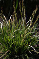 Carex morrowii 'Variegata' plant 01.jpg