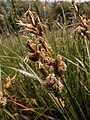 Carex pseudobrizoides inflorescens (1).jpg