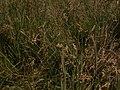 Carex pseudobrizoides plant (3).jpg