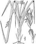 Carex willdenowii drawing 1.png