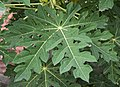 Carica papaya leaf 14 07 2012.jpg