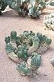 Caryophyllales - Echinopsis smrziana - 1.jpg