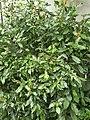 Caryophyllales - Pleuropetalum darwinii - 1.jpg