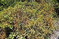 Cassytha filiformis (Bahamian love vine) (San Salvador Island, Bahamas) 4 (48303456001).jpg