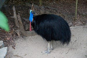 Southern cassowary - At the Rainforest Habitat Wildlife Sanctuary, Port Douglas, Australia