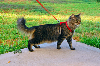 Domestic long-haired cat - A brown mackerel tabby domestic long-haired cat