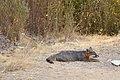 Catalina Island Fox (Urocyon littoralis catalinae) resting.jpg