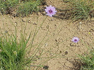 Catananche caerulea6.jpg