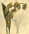 Catasetum macrocarpum (as C. tridentatum) - Curtis vol. 52 pl. 2559 (1825).jpg