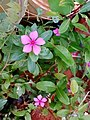 Catharanthus roseus flower in puducherry.jpg
