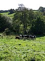 Cattle, Nadder Valley - geograph.org.uk - 1494063.jpg