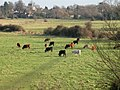 Cattle grazing near Fen Ditton - geograph.org.uk - 1061208.jpg