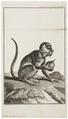 Cebus apella - 1751-1780 - Print - Iconographia Zoologica - Special Collections University of Amsterdam - UBA01 IZ20200190.tif
