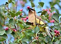 Cedar waxwing on Seedskadee National Wildlife Refuge (35347522653).jpg