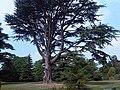 Cedrus libani - UK 4.jpg