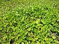 Centella asiatica habit2 (8417490813).jpg