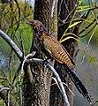 Centropus phasianinus -Queensland, Australia-8.jpg