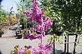 Cercis chinensis Avondale 11zz.jpg