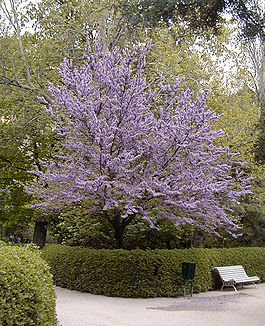 Cercis chinensis HRM.jpg