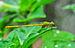 Ceriagrion coromandelianum male 27052014 (1).jpg