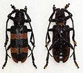Ceroplesis orientalis latevittata (12122055196).jpg