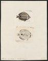 Chaetodon capistratus - 1700-1880 - Print - Iconographia Zoologica - Special Collections University of Amsterdam - UBA01 IZ13100141.tif