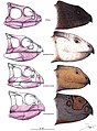 Chaoyangsauridae skull comparison.jpg