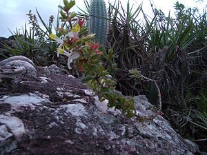Chapada Diamantina National Park - Typical flora of the Chapada Diamantina